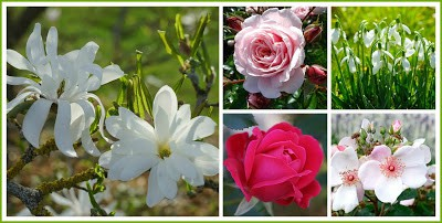 Beautiful Flowers: Magnolia Stellata, Rose, Snow Drops, Rose, Rose